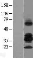 NBL1-15602 - RSPO3 Lysate
