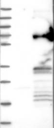 NBP1-83787 - RSRC2