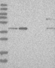 NBP1-87113 - RTCD1