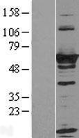 NBL1-15609 - RTKN Lysate