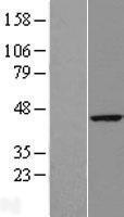 NBL1-15613 - RTN4IP1 Lysate