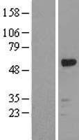 NBL1-15624 - RUNX1 Lysate