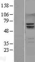 NBL1-15627 - RUNX2 Lysate