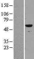 NBL1-15628 - RUNX2 Lysate