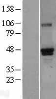 NBL1-15629 - RUNX3 Lysate