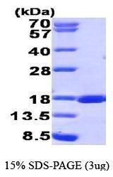 NBP1-44462 - RUNX3