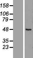 NBL1-15630 - RUSC1 Lysate