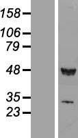 NBL1-15631 - RUVBL1 Lysate
