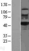 NBL1-15632 - RUVBL2 Lysate