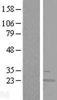 NBL1-15636 - RWDD4A Lysate