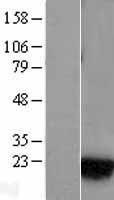 NBL1-15045 - Rab1A Lysate