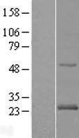 NBL1-15051 - Rab24 Lysate