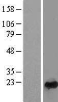 NBL1-15052 - Rab24 Lysate