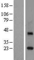NBL1-15072 - Rab3C Lysate