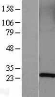 NBL1-15082 - Rab5a Lysate