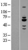 NBL1-15095 - Rabex5 Lysate