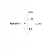 NB300-735 - Rabphilin-3A / RPH3A
