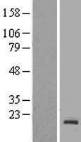 NBL1-15104 - Rac1 Lysate