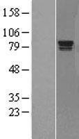 NBL1-15111 - Rad17 Lysate
