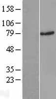 NBL1-15112 - Rad17 Lysate