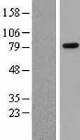 NBL1-15114 - Rad21 Lysate