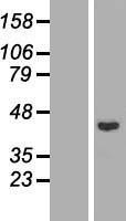 NBL1-15120 - Rad51L1 Lysate