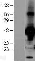 NBL1-15123 - Rad9 Lysate