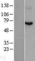 NBL1-15261 - Radixin Lysate