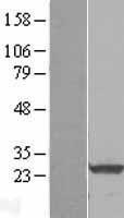 NBL1-15130 - RalA Lysate