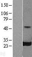 NBL1-15131 - RalB Lysate