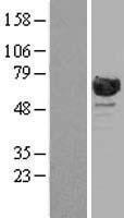 NBL1-15144 - RanGAP1 Lysate
