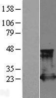 NBL1-15148 - Rap2A Lysate