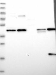 NBP1-85537 - RAPSN / RNF205