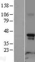 NBL1-15154 - Rapsyn Lysate