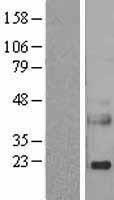 NBL1-15273 - Reg3a Lysate