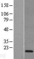 NBL1-15274 - Reg3a Lysate
