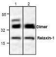 NBP1-45836 - Relaxin 1 / RLN1