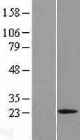 NBL1-15385 - Relaxin 1 Lysate
