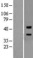 NBL1-15315 - Repulsive Guidance Molecule A Lysate