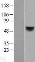 NBL1-15157 - Retinoic Acid Receptor beta Lysate