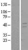NBL1-15643 - Retinoid X Receptor gamma Lysate