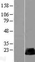 NBL1-15350 - RHOB Lysate