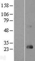 NBL1-15356 - RHOD Lysate