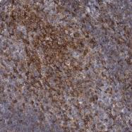 NBP1-88832 - RhoG
