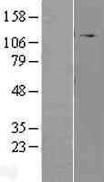 NBL1-07671 - RhoGAP Lysate