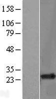 NBL1-15357 - RHOH Lysate