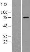 NBL1-15364 - Rhophilin 2 Lysate