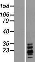 NBL1-15392 - Ribonuclease A Lysate