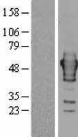 NBL1-15462 - Ribonuclease Inhibitor Lysate