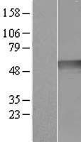 NBL1-15463 - Ribonuclease Inhibitor Lysate